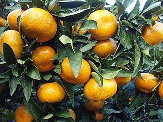 Citrus unshiu - Image: Citrus unshiu 20101127 c
