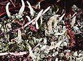 Cladonia coniocraea-7.jpg