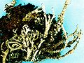 Cladonia squamosa-3.jpg