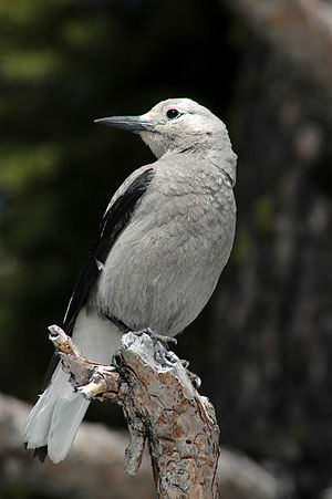 Clark's nutcracker - Clark's nutcracker at Crater Lake, Oregon