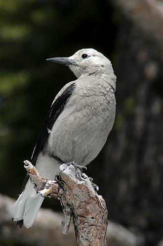 Nutcracker (bird) - Image: Clark's Nutcracker at Crater Lake