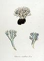 Clavaria coralloides — Flora Batava — Volume v14.jpg