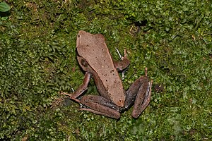 Bicolored frog - In Aralam Wildlife Sanctuary, Kerala, India