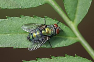 Close-up of Chrysomya (Old World blow fly) on a green leaf.jpg