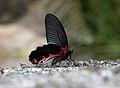 Close wing position of Papilio alcmenor Felder & Felder, 1864 – Redbreast.jpg