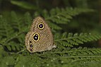 Close wing posture of Ypthima sakra Moore, 1857 – Himalayan Five-ring Butterflies of Talle valley - 7.jpg