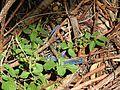 Cnemidophorus lemniscatus blue.JPG