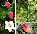 Coccinia grandis Ivy gourd compose.jpg