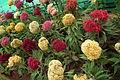 Cockscomb or Celosia cristata7335.JPG