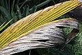 Cocos nucifera 45zz.jpg