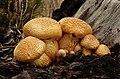 Cogumelo (Gymnopilus junonius) - Laughing Gym, (16936399717).jpg