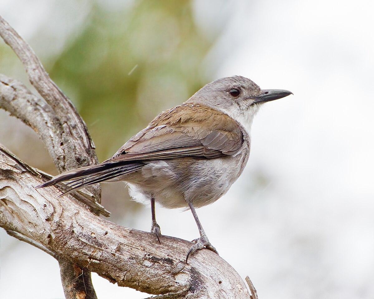 Grey shrikethrush - Wikipedia