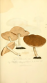 Coloured Figures of English Fungi or Mushrooms - t. 174.png