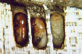 Columbian timber beetle adult and pupae.jpg