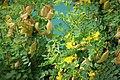 Colutea arborescens. Bladder senna (1) (45597203602).jpg