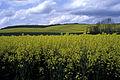 Colza Ile de France Cl jJ Weber10 (23048048743).jpg