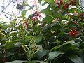 Combretum indicum NP-01.jpg
