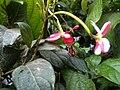 Combretum indicum NP-03.jpg