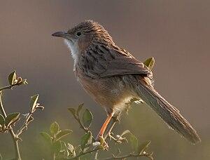 Common babbler - T. c. caudata (Haryana, India)