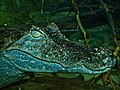 Common Caiman (Caiman crocodilus) (7128588423).jpg