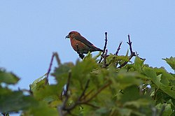Common Crossbill (Loxia curvirostra), Baltasound - geograph.org.uk - 1362630.jpg