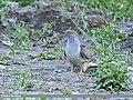 Common Cuckoo (Cuculus canorus) (44668574784).jpg