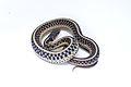 Common Garter Snake - Thamnophis sirtalis.jpg