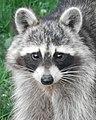 Common Raccoon (Procyon lotor) - Guelph, Ontario.jpg