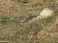 Common Snipe (Gallinago gallinago) (34800572191).jpg