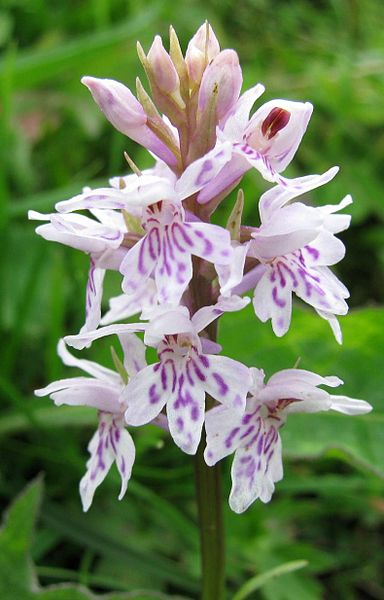 File:Common spotted orchid 1.jpg