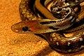 Common trinket snake.jpg