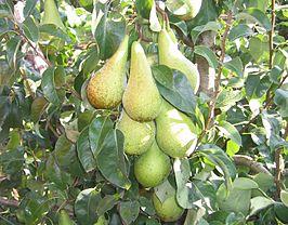 Conference peren aan de boom