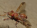 Conopid Fly (Dacops sp.) mimic of Ropalidia paper wasp (12932628974).jpg