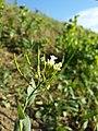 Conringia orientalis sl66.jpg