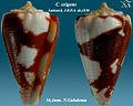 Conus exiguus 1.jpg