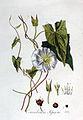 Convolvulus sepium — Flora Batava — Volume v3.jpg