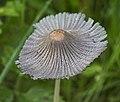 Coprinellus micaceus (29413836874).jpg