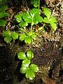 Coptis trifolia 6.JPG