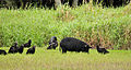 Coragyps atratus -Myakka River State Park, Florida, USA -with pigs-8.jpg