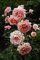 Coral roses at Goodnestone Park Kent England.jpg