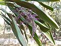 Cordyline fruticosa (5432752769).jpg