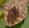 Coreus marginatus fluegelmembran.png