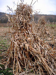 Corn shocks, or bundles, are a traditional harvest practice.