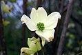 Cornus florida Cherokee Princess 7zz.jpg