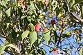 Cornus x Rutgan Stellar Pink 2zz.jpg