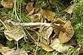 Cortinarius.decipiens2.-.lindsey.jpg
