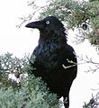 Corvus coronoides facing to side.jpg