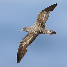 Cory's Shearwater from the Crossley ID Guide Britain and Ireland crop.jpg