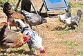 Cory's chickens 23 - Silver Spangled Hamburg cockerel and misc hens and pullets including two Egyptian Fayoumis (28667510312).jpg