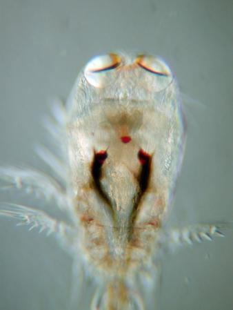 Corycaeus sp.